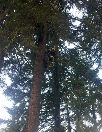 Tree pruning in Portland, OR by New Day Arborist