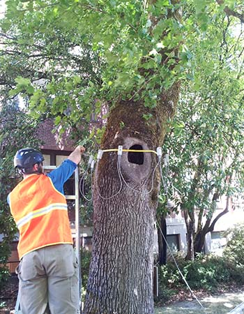 New Day Arborist & Tree Service rigging a tree with sonic tomography equipment to asses the structural integrity of the tree for tree risk assessment in Vancouver, WA.