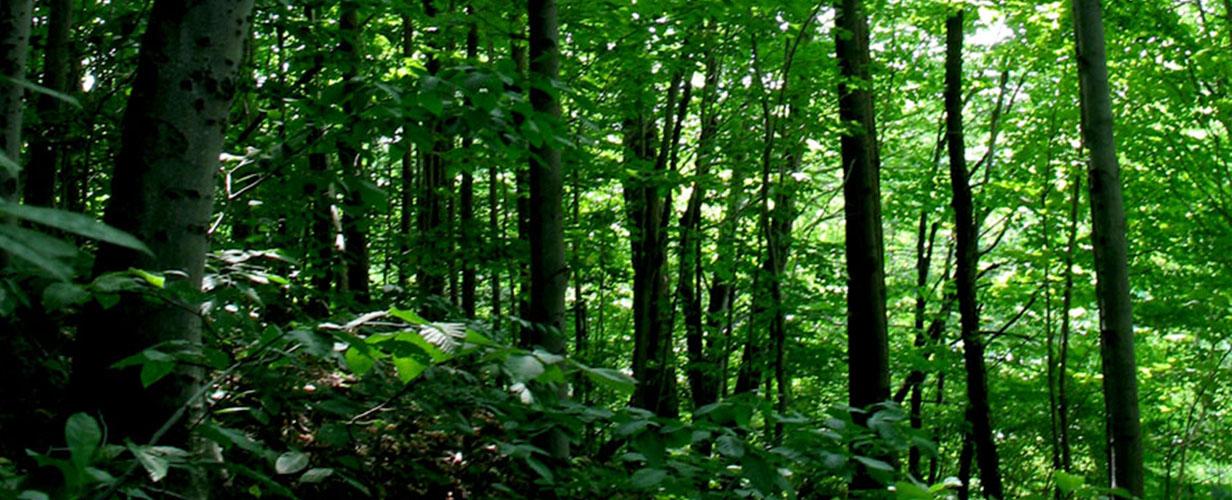 Lush Trees in SW Washington