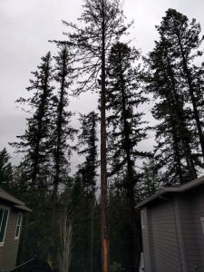 A doug fir that suffered a lightening strike and was removed by New Day Arborist & Tree Service in Vancouver, WA because it was unsafe