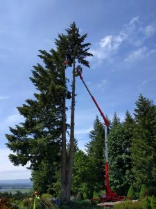 New Day Arborist & Tree Service removing a Large Douglas Fir in Vancouver WA