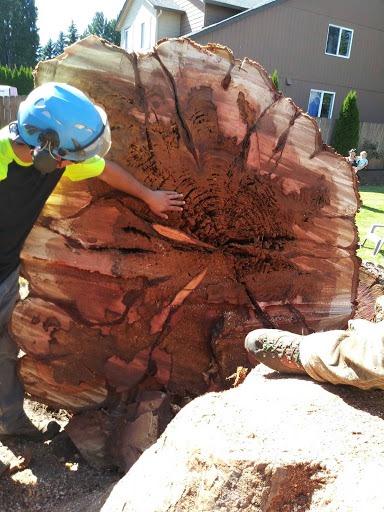 Lareg tree removal New Day Arborist Vancouver WA